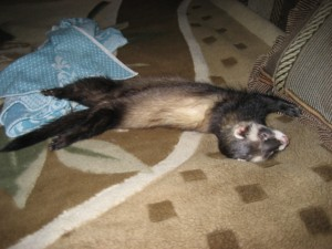 Бонюха спит как хорек прям