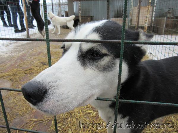 Собаки хаски фото