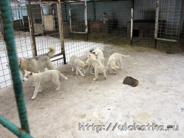 Щенки собаки хаски
